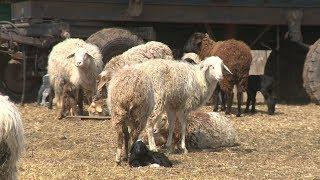 Волгоградские животноводы развивают хозяйства