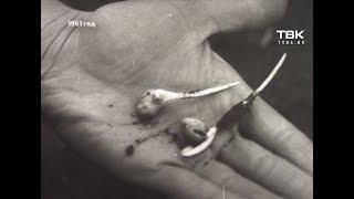 «Кинохроники Красноярья»: об успехах сельского хозяйства в 1961 году