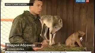 Волка Серёгу воспитывают в Листвянке