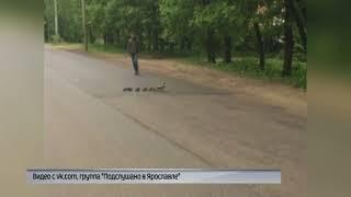 Ярославец помог утиному семейству перебраться через дорогу