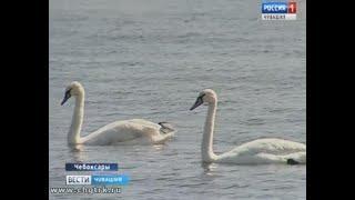 Перелётные гости: в Чебоксары неожиданно прилетели лебеди
