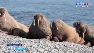 В Архангельске состоится международная конференция по вопросам сохранения арктической фауны