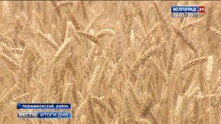 Аграрии Чернышковского района собирают хороший урожай