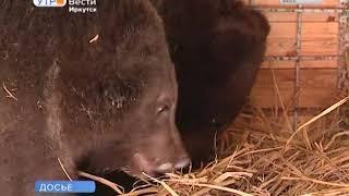Медведи в иркутском питомнике «К 9» готовятся к зимней спячке