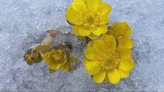 В Уссурийской тайге зацвели первоцветы