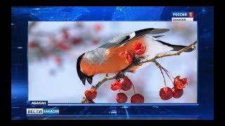 Снегири прилетели. Редка для Хакасии птица замечена в Абакане. 20.02.2018