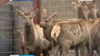 В Балахтинском районе в дикую природу выпустили годовалых маралов