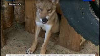 Посетители благовещенского зоопарка могут увидеть подросших волчат