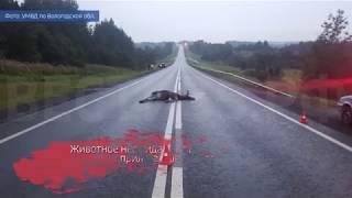 В Вологодском районе «Рено» сбил лося: животное погибло