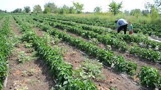 Как овощеводы поливают поля из реки в селе Никольское Оренбургского района