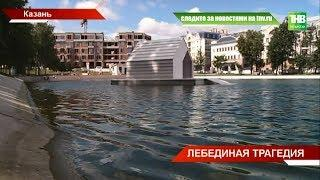 На лебедей на Чёрном озере напали: виновник - бродячая собака. ТНВ