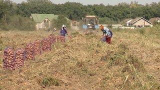 В Волгоградской области собрано 9 тысяч тонн картофеля
