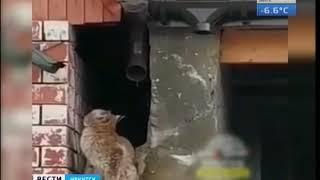 В посёлке Сахюрта поселилась рысь