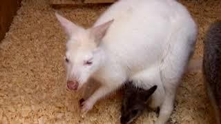 В саратовском зоопарке у кенгуру прибавление в семействе