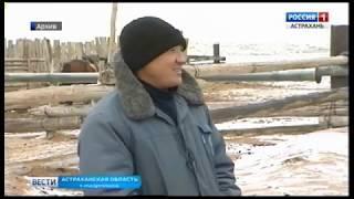 Астраханские верблюды бактрианы составляют уникальный племенной фонд страны