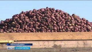 В Башкирии созрел небывалый урожай картофеля