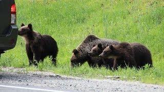 Егери просят югорчан не прикармливать медведей