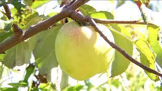 Наливные плоды.  Хороший урожай  яблок ожидается в этом году в Приамурье