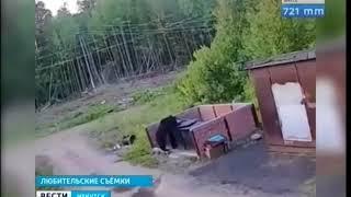 Медведь пришёл к детскому лагерю под Усть Илимском