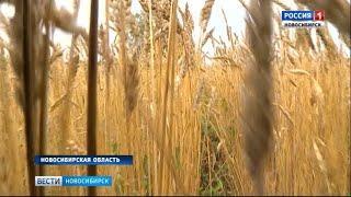 Все районы Новосибирской области приступили к уборке зерновых