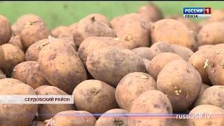 В Сердобском районе рассчитывают на урожай в 2 тыс. тонн картофеля