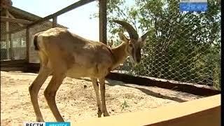 Пару молодых муфлонов привезли в Иркутский зоосад