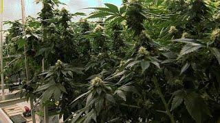 Инвестиции в марихуану