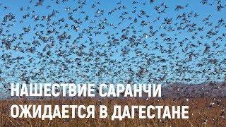 Массовое нашествие саранчи ожидается в Дагестане