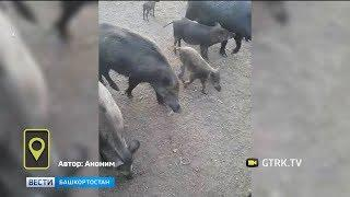 Житель Башкирии приручил диких кабанов