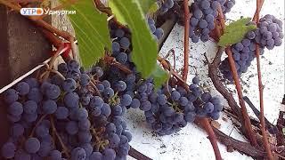 Семья из Дебесского района выращивает в своем саду более восьмидесяти сортов винограда