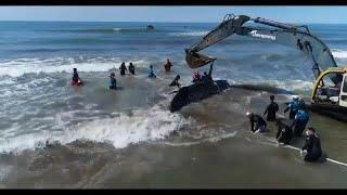 Спасение горбатого кита