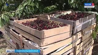 В плодовый питомник на Ставрополье съехались иностранные ученые