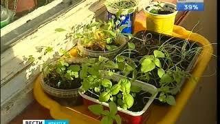Огурдыня и земляничный шпинат  В Иркутской области идет погоня за лучшей рассадой