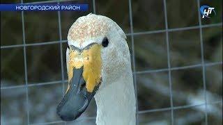 Премьер Мариинского театра Игорь Колб после концерта в филармонии навестил спасенного им лебедя