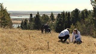 В Ханты-Мансийске высадили морозоустойчивую лиственницу