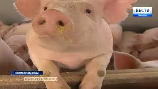 Новая племенная ферма на ТОР «Михайловский» получила первую партию свиноматок