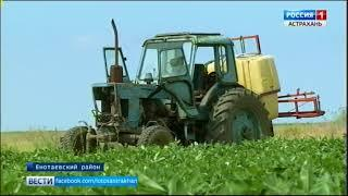 В Астраханской области теперь выращивают арахис