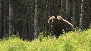 Югорчан пугают голодные медведи