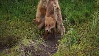 Воспитание лисенка на Камчатке сняли на видео