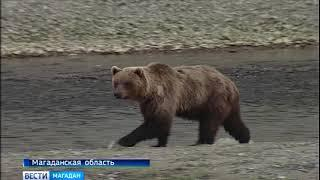 Медведи зачастили в Магадан
