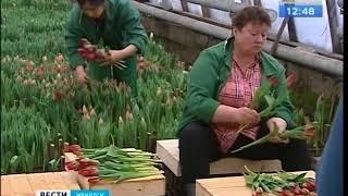 29 сортов тюльпанов вырастил иркутский «Горзеленхоз» к 8 Марта