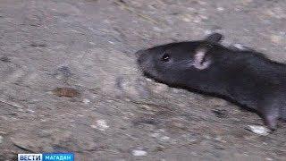 Крысы атаковали жителей Магадана