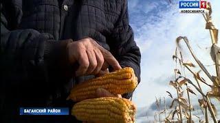 В Новосибирской области запускают новый аграрный проект – корма из кукурузных початков