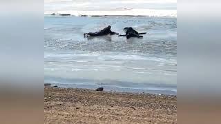 спасение собаки набережная Хабаровска 6 апреля 2018