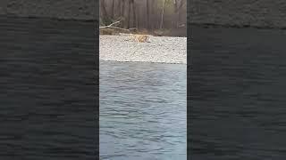 Огромного тигра с таинственным недугом отловили в Приморье