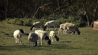 «Край аграрный». Овцы дорпер и ягодное хозяйство