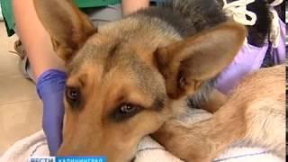 Ветеринары из Испании и Германии взялись за стерилизацию животных в калининградских приютах
