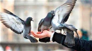 Крысы в перьях или добрые птички? Югорчан призывают прекратить кормить голубей