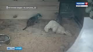 В зоопарке Барнаула сняли видео, как смешные сурикаты щекочут игрушечного кролика