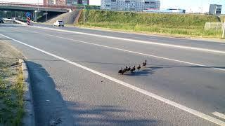Уточка с выводком переходит дорогу